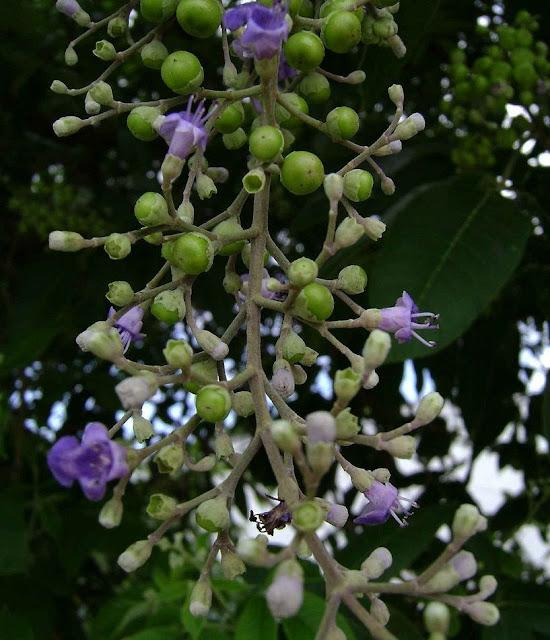 Màn Kinh Tử - Vitex trifolia - Nguyên liệu làm thuốc Chữa Cảm Sốt