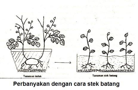 Teknik Perbanyakan Tanaman Kentang