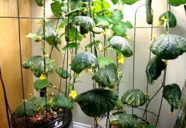 tanaman hidroponik di rumah, bertanam hidroponik di rumah, hidroponik sayuran di rumah, hidroponik sederhana di rumah, rumah hidroponik cibinong, rumah hidroponik marunda, rumah hidroponik bertha, cara hidroponik cabe