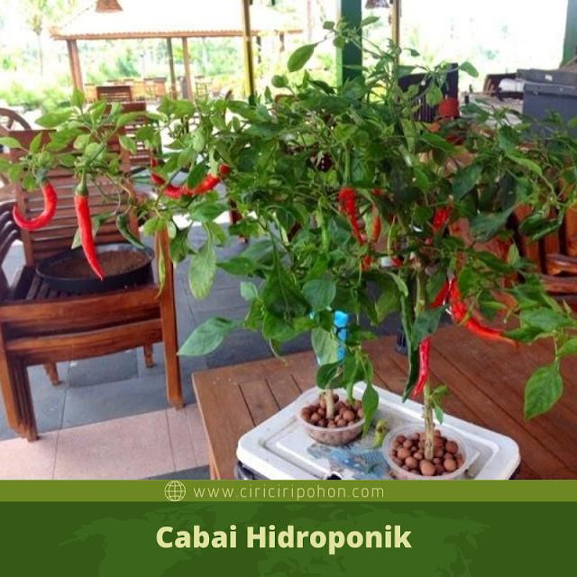 Ciri Ciri Pohon Cabai Hidroponik