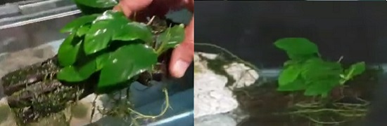 Lower Anubias plant attached to driftwood