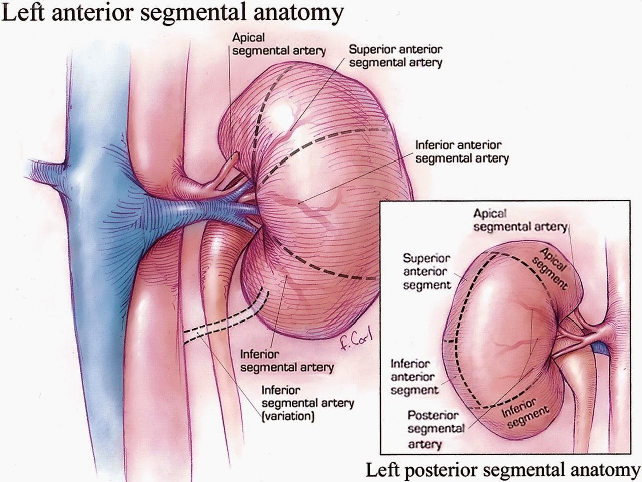 anatomia humana imagenes riñones