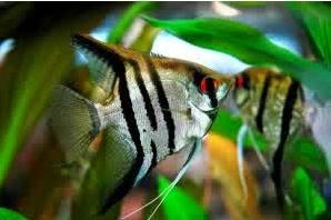 Inilah Jenis-Jenis Ikan Manfish/(Angelfish) Zebra