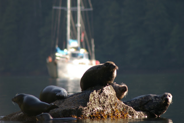 Harbour seals hauled out on a rock