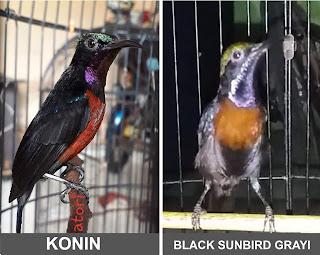 cara membedakan konin dengan black sunbird grayi