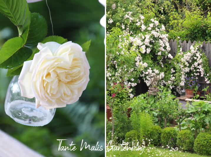 Ramblerrose auf Gartenzaun, Perennial blush