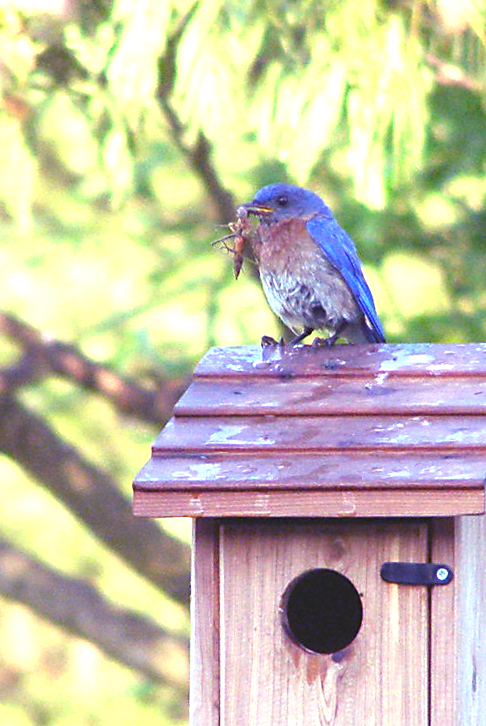Our Barn Swallow Friends: Nesting Bluebirds -- Bugs for ...