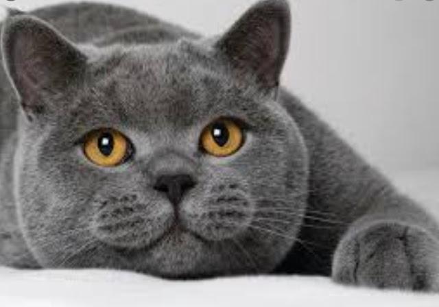 hewan kucing, kucing imut, kucing lucu, bulu kapas