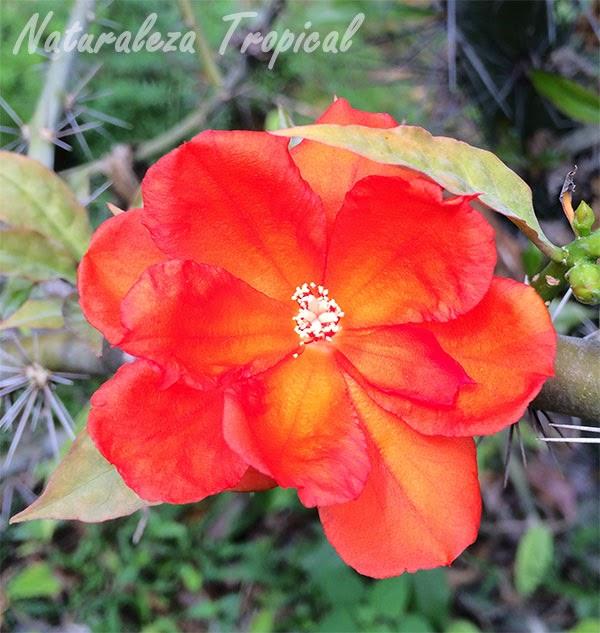 Flor de la planta Guamacho, Pereskia bleo