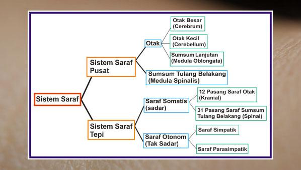 Sistem saraf - Fungsi Jaringan Saraf