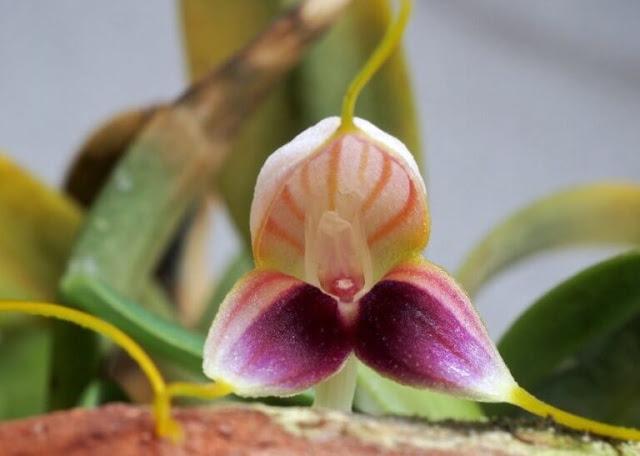 Gambar Bunga Anggrek Masdevallia