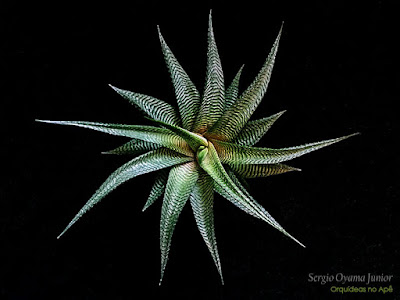 Suculenta Haworthia limifolia
