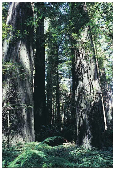 Figure 3 California coastal redwoods (Sequoia sempervirens). Coastal redwoods plants may grow for thousands of years and some may reach heights of nearly 100 meters (330 feet).
