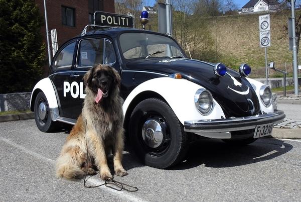 politihund leonberger politibil
