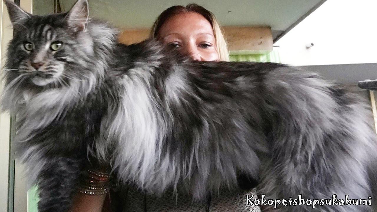 Download 76+  Gambar Kucing Jenis Menkun Paling Imut Gratis