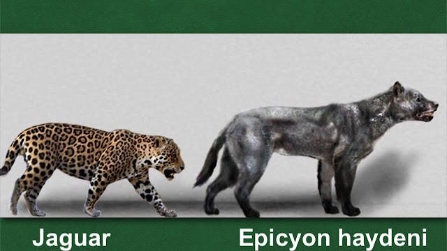 Tamaño Epicyon haydeni vs Jaguar actual