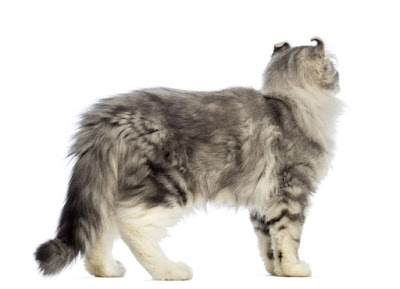 Kucing American Curly