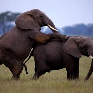 Mustika Mani Gajah Super