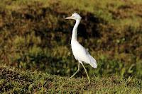 Little Blue Heron, juvenile – Tobago – Dec. 2014 – photo by Charles J. Sharp