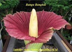 Bunga Bangkai