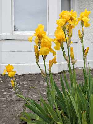 tall yellow iris in the front garden