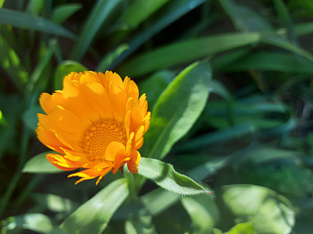 An orange marigold flower against green leaves