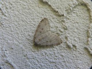 Epirrita autumnata - Épirrite automnale