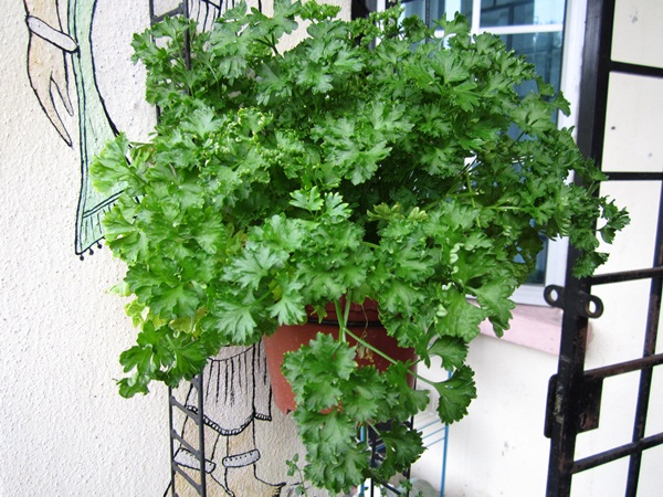 Parsley / Peterseli