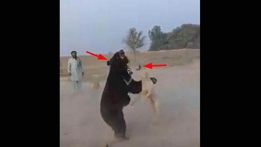هذه هي نتيجة تحريض كلب البيتبول على مهاجمة دب بني في احدى البوادي