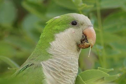 Az őshonos fajok védelmében Madrid leszámolna a közparkokban élő papagájkolóniákkal