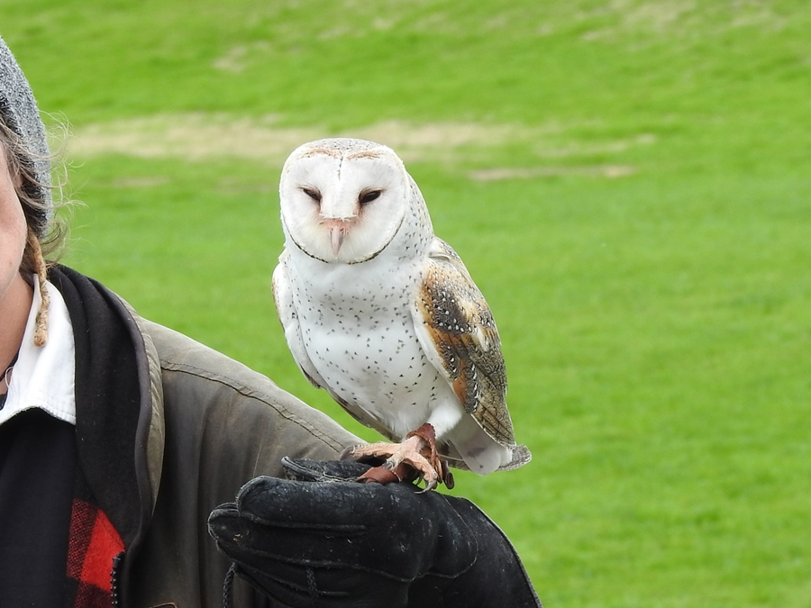 wingspan, NZ, barn owl