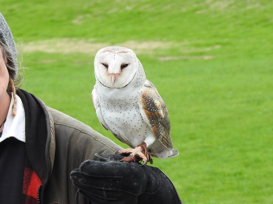 wingspan, NZ, barn owl