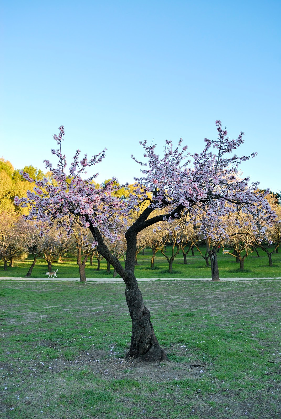 beautiful spring springtime flowers cherry blossom bloom europe spain scenery quinta molinos madrid
