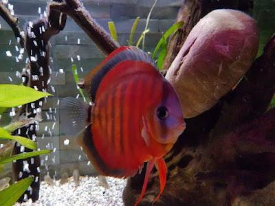 Harga Ikan Discus Sun Merah