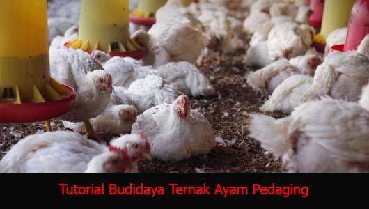Tutorial Budidaya Ternak Ayam Pedaging