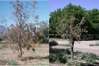 A composite photo showing two dead pecan trees