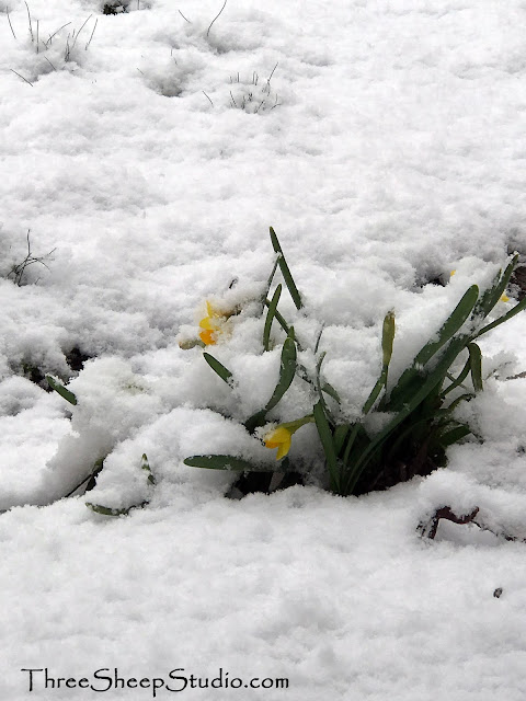 Daffodils under a blanket of snow
