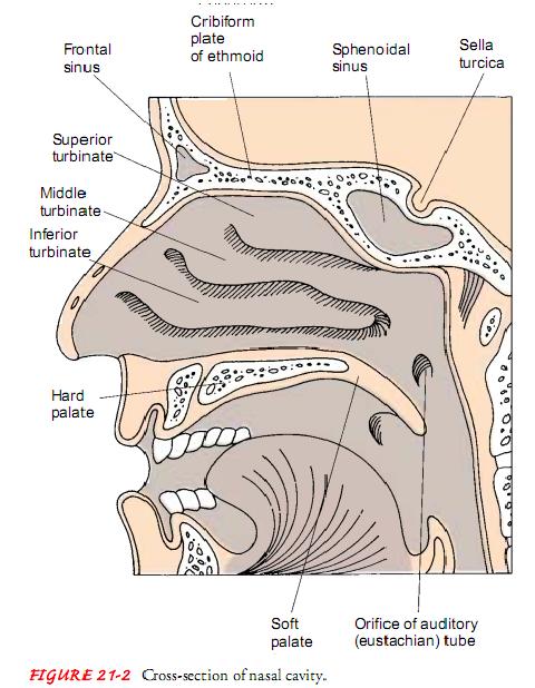 FIGURE 21-2 Cross-section of nasal cavity.