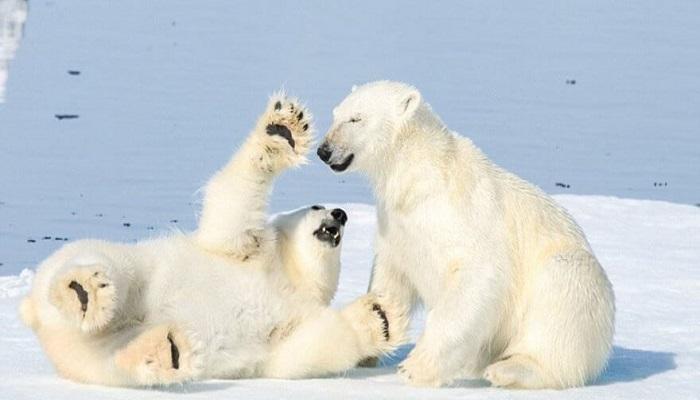 Nesli Tükenmek Üzere Olan Hayvanlar - Kutup Ayısı - Kurgu Gücü
