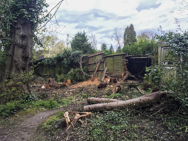 Fallen tree on Hayes Common, 28 April 2016.