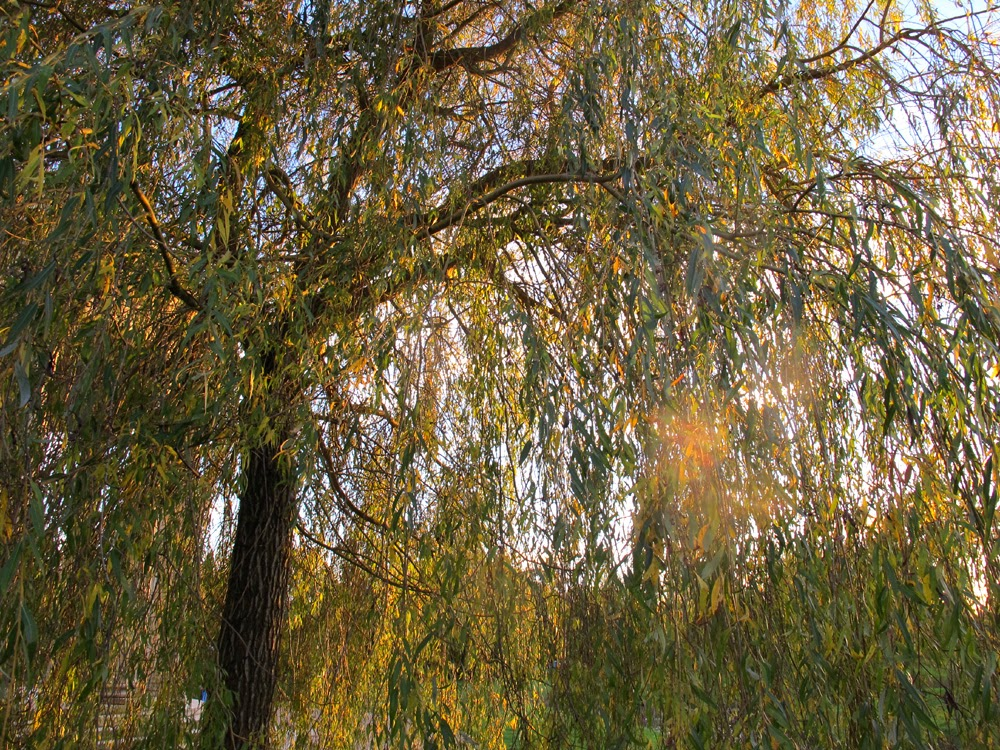 weeping willow tree in the Chateau de Versailles gardens