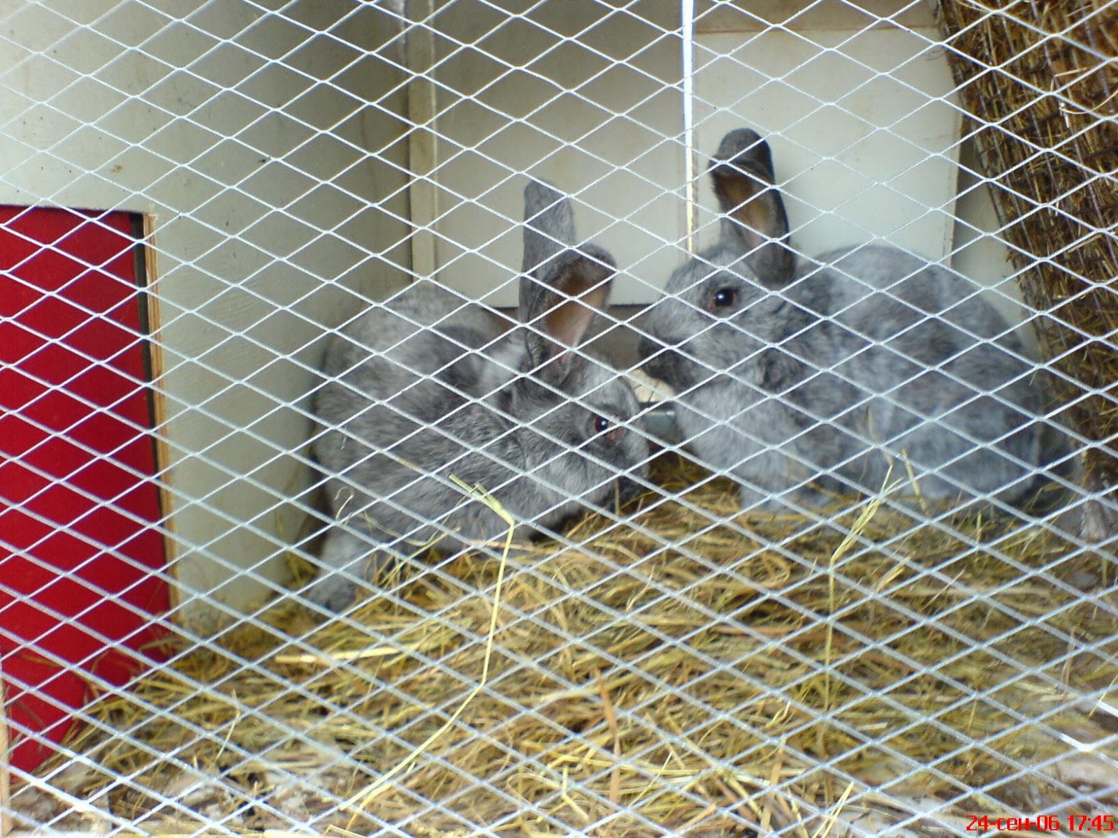Кролик срібло, серебристий