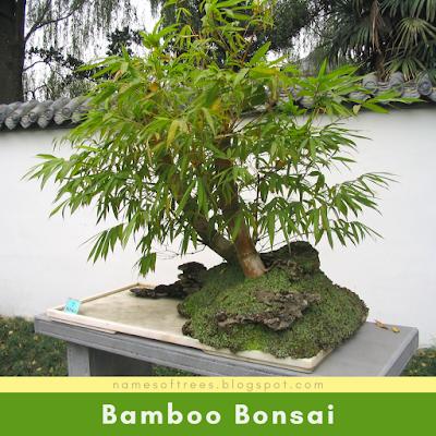Bamboo Bonsai