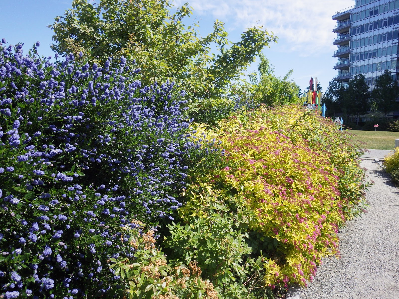 Victory Gardens for Bees: The California Lilacs are Blooming in ...