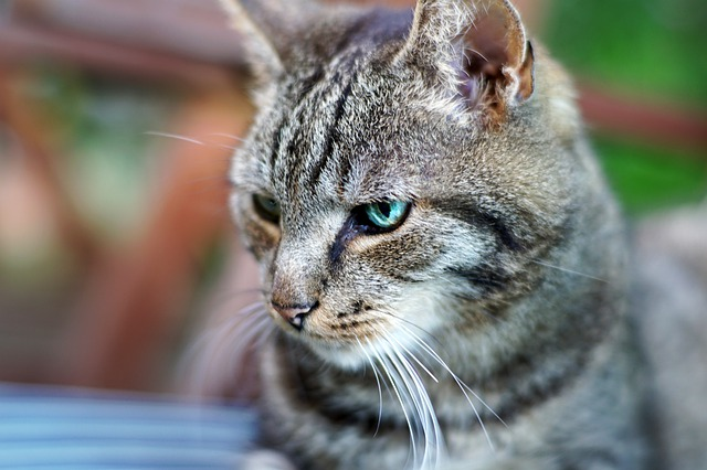 European Shorthair Cat - all you want to know about European Shorthair Cats
