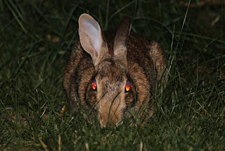 A rabbit with red eyes