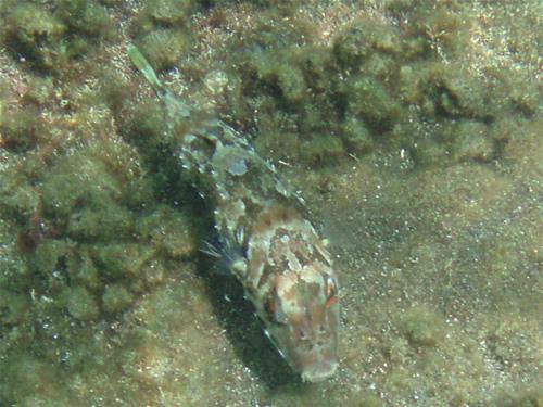 Brauner Kugelfisch - Sphoeroides marmoratus 04