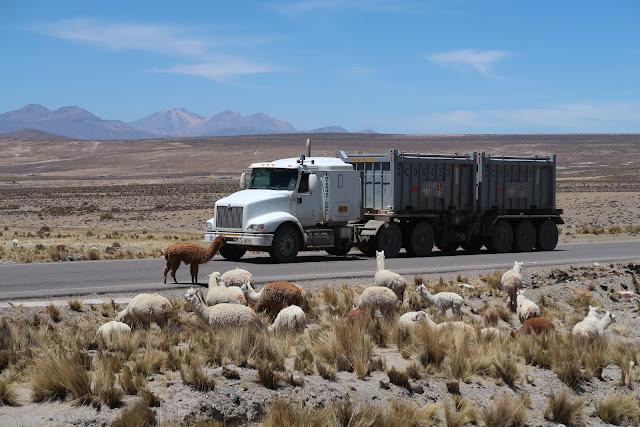 Llamas en el altiplano de Peru