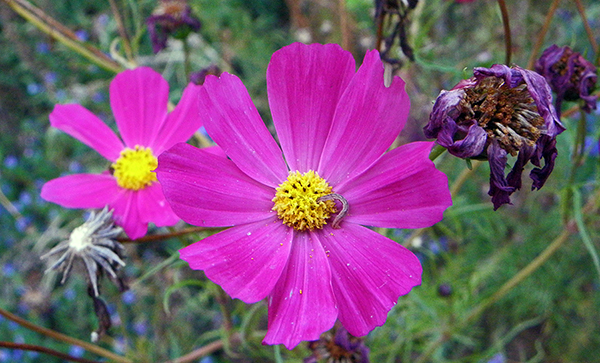 bright magenta cosmos with dried blossoms and seed heads