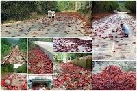أكبر تجمع لـ 50 مليون من سرطان البحر الأحمر على جزيرة الكريسماس